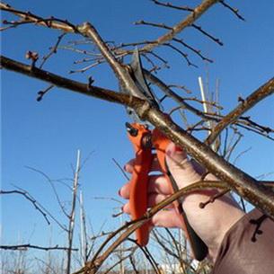 В садоводческих хозяйствах Абинского района ведется плановая обрезка плодовых деревьев