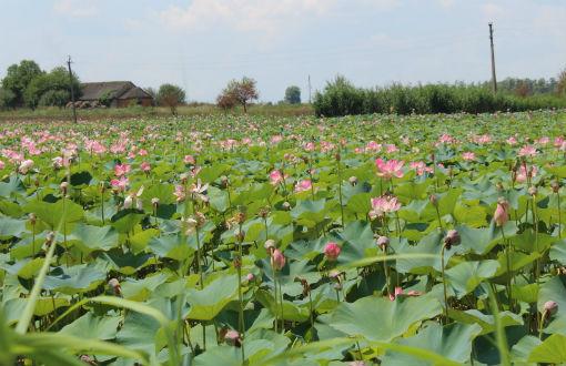 В хуторе Покровском цветут лотосы