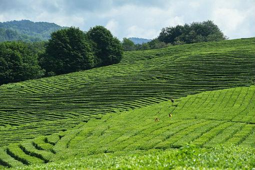 Краснодарский чай получил высшую награду на международном конкурсе в Лондоне