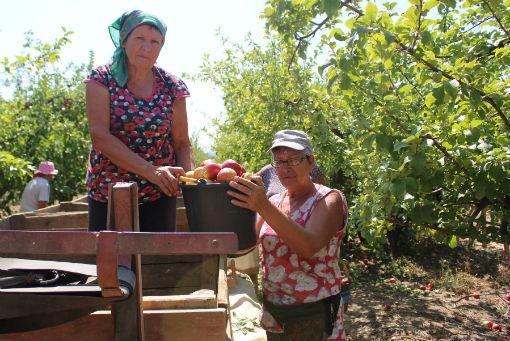Около 200 кг яблок собирают с яблони в Абинском районе