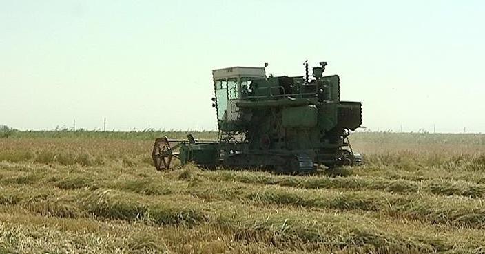 В Абинском районе продолжается уборка риса
