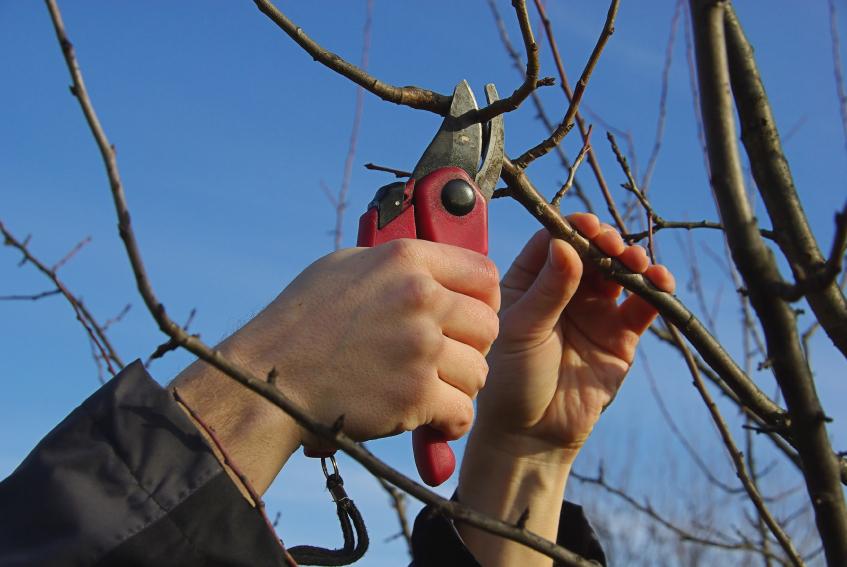 В садах Абинского района ведется плановая обрезка деревьев