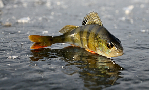 О нормах вылова и запретах, или Как рыбачить по закону