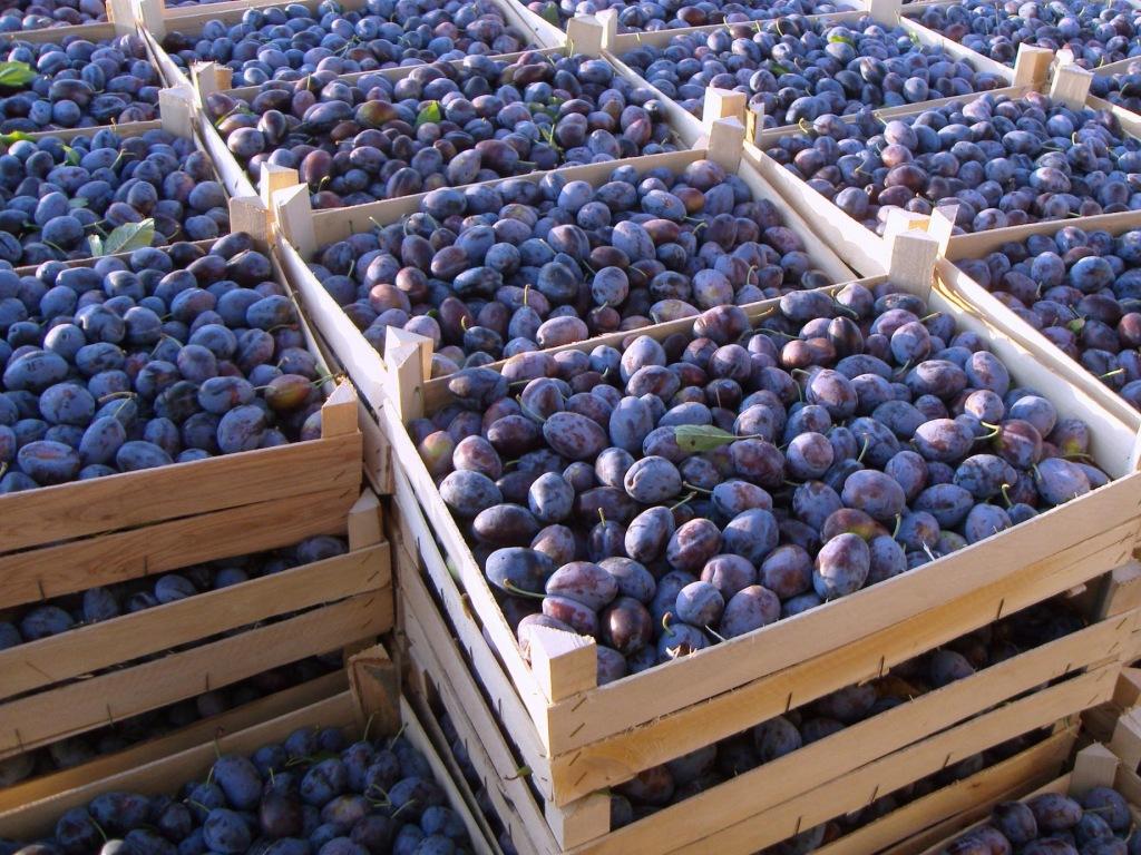 В хозяйствах Абинского района ведется сбор урожая овощей открытого грунта, косточковых и семечковых плодовых культур