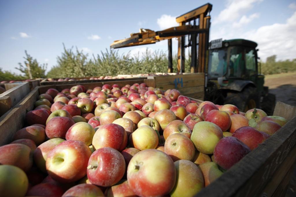 Абинский район вошел в число лидеров по валовому сбору яблок