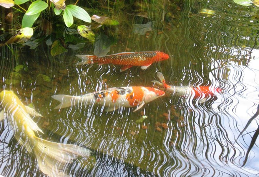 В Абинске женщина украла у знакомой 29 декоративных рыб