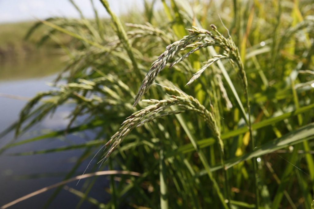 Три рисоводческих хозяйства района приступили к севу риса