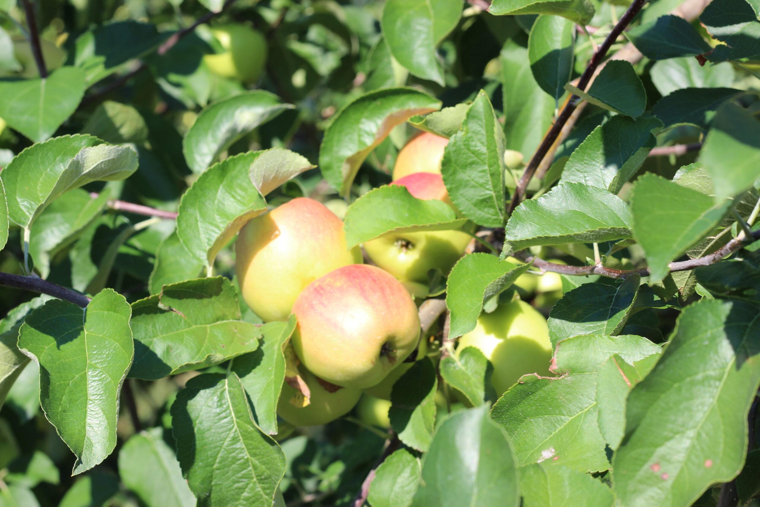 И спелых яблок душистый аромат
