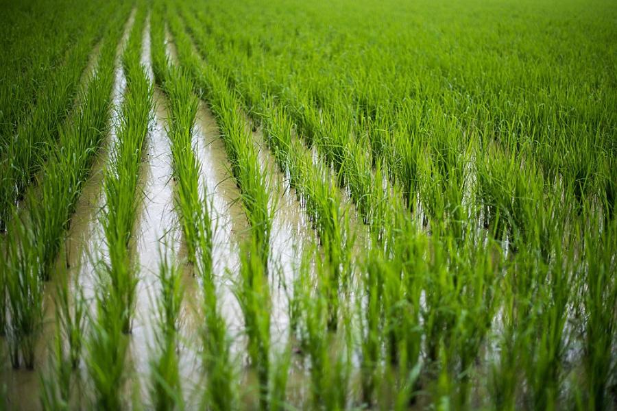 В текущем году рисом засеят площадь порядка 120 тыс. гектаров
