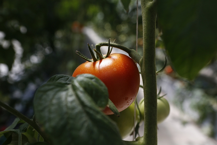 Производство тепличных овощей с начала 2021 года на Кубани увеличилось